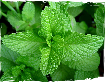 sirop-menta-ot-mazzetto-real-energy-from-nature